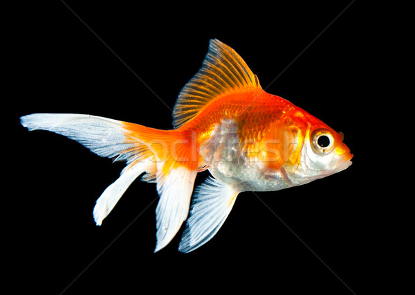 金魚 孤立した 暗い 黒 魚 オレンジ ストックフォト © cookelma