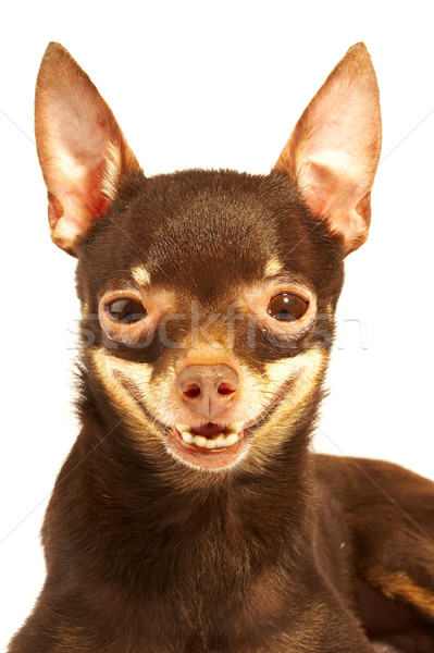 Russian toy-terrier.Ridiculous dog Stock photo © cookelma