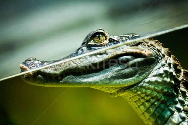Caiman crocodilus Stock photo © cookelma
