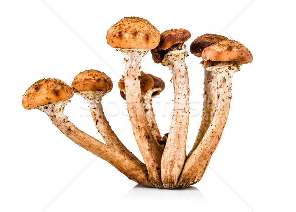 Mushroom a honey agaric Stock photo © cookelma