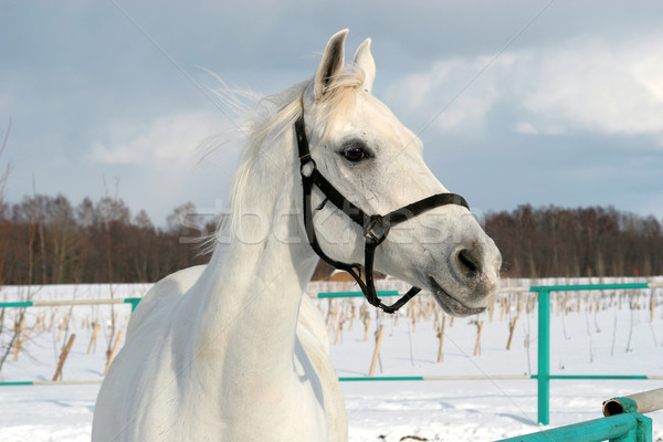 White horse Stock photo © cookelma