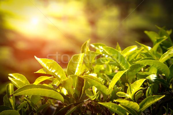 çay yaprakları Hindistan manzara bahar Stok fotoğraf © cookelma