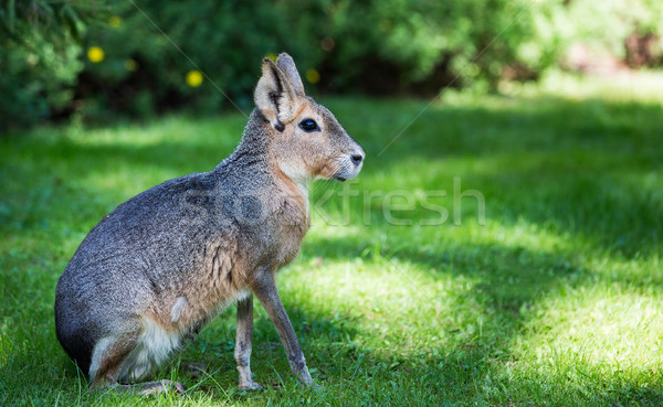 Patagonian mara (Dolichotis patagonum) Stock photo © cookelma