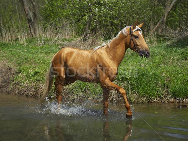 Horse in water  Stock photo © cookelma