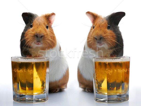 guinea-pig and beer Stock photo © cookelma