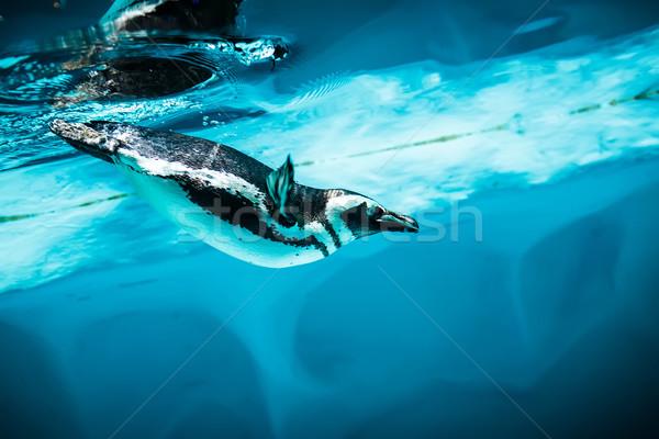 Humboldt Penguin (Spheniscus humboldti) Stock photo © cookelma