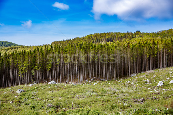 Deforestation in Norway Stock photo © cookelma