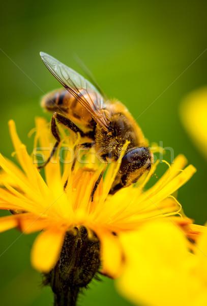 Osa nektar kwiat wiosną charakter tle Zdjęcia stock © cookelma