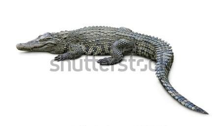 Krokodil geïsoleerd witte natuur macht tropische Stockfoto © coprid