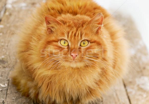 赤 猫 毛むくじゃらの 木製 階段 目 ストックフォト © coprid