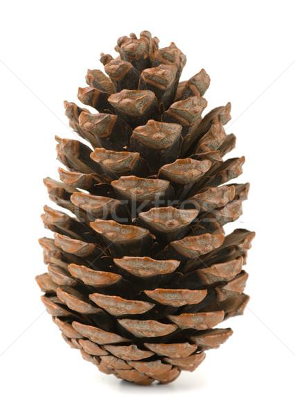 Pine cone Stock photo © coprid