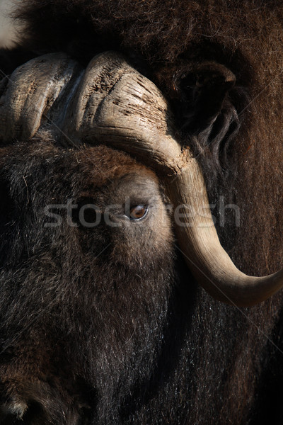Musk Ox Stock photo © cosma
