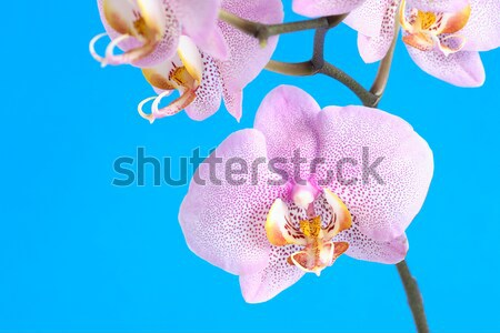Orchid Flowers Stock photo © cosma