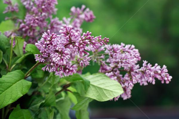 сирень Purple веточка зеленые листья весны Сток-фото © cosma