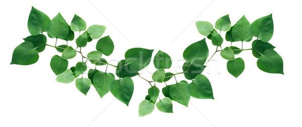 Yeşil yaprakları beyaz dal sınır ağaç bahar Stok fotoğraf © cosma