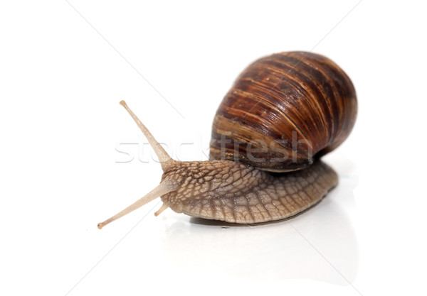 Foto stock: Caracol · branco · longo · acelerar · animal