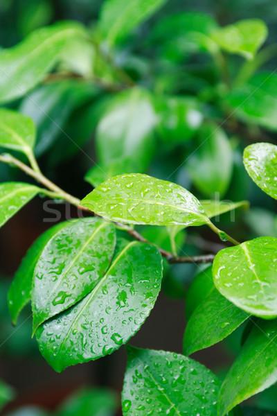 緑の葉 いい 鮮度 ツリー 小枝 ぬれた ストックフォト © cosma