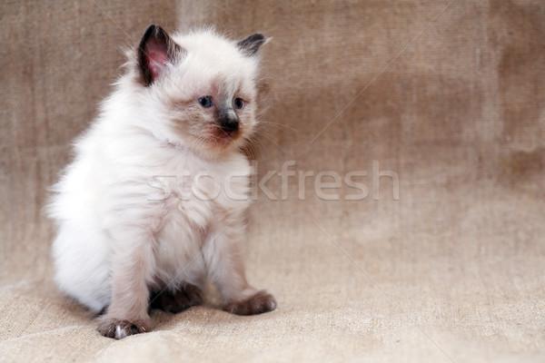 Китти холст Nice небольшой белый ребенка Сток-фото © cosma