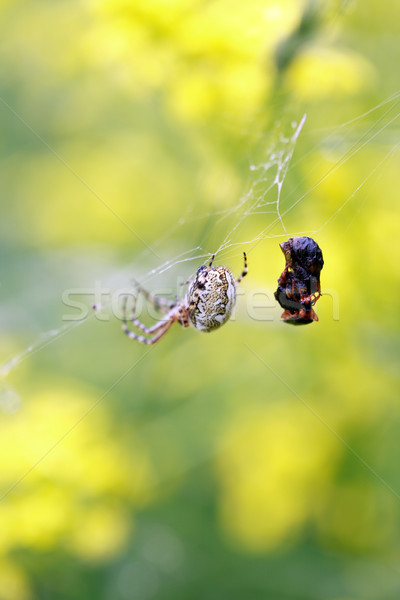 Spin buit spinnenweb dode insect Stockfoto © cosma