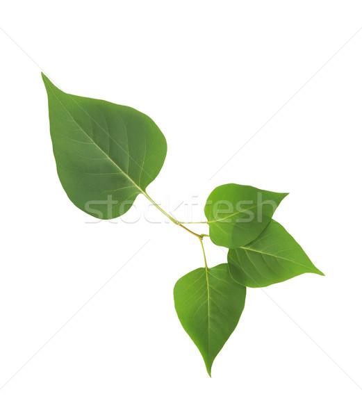 Zöld levelek izolált gyönyörű ág fehér vágási körvonal Stock fotó © cosma