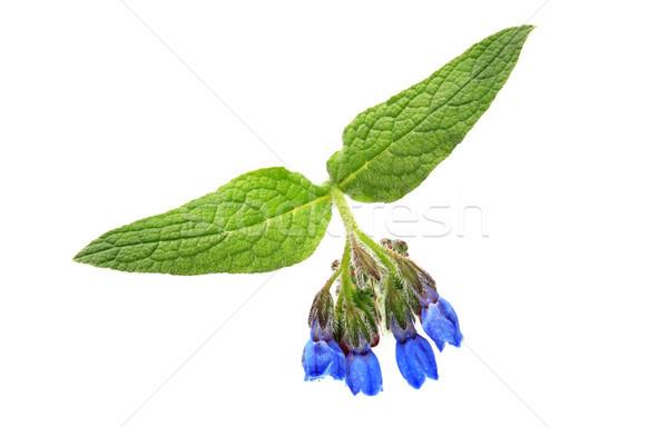 Vadvirág szépség kék zöld levelek fehér virág Stock fotó © cosma