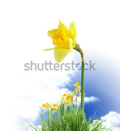 Abrótea flores branco poucos isolado Foto stock © cosma