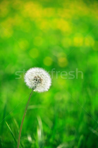 Sozinho dandelion bom verde natureza primavera Foto stock © cosma
