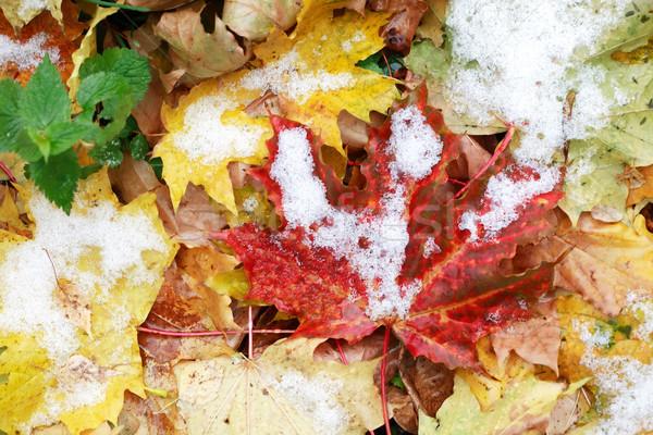 первый снега осень зима различный листьев Сток-фото © cosma