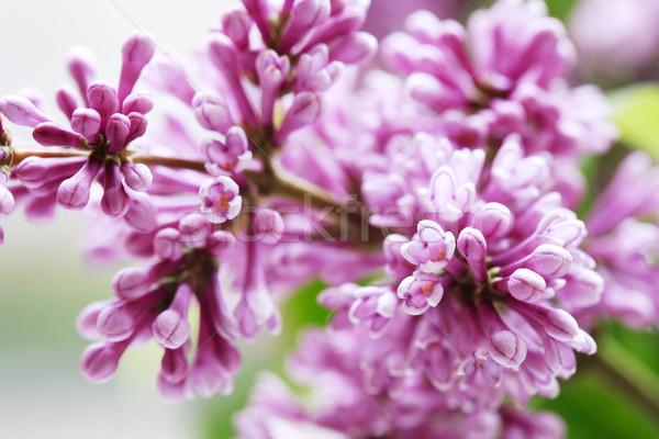 сирень Purple веточка макроса Extreme Сток-фото © cosma