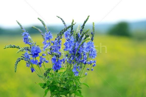 Kék vadvirágok közelkép gyönyörű zöld fű háttér Stock fotó © cosma