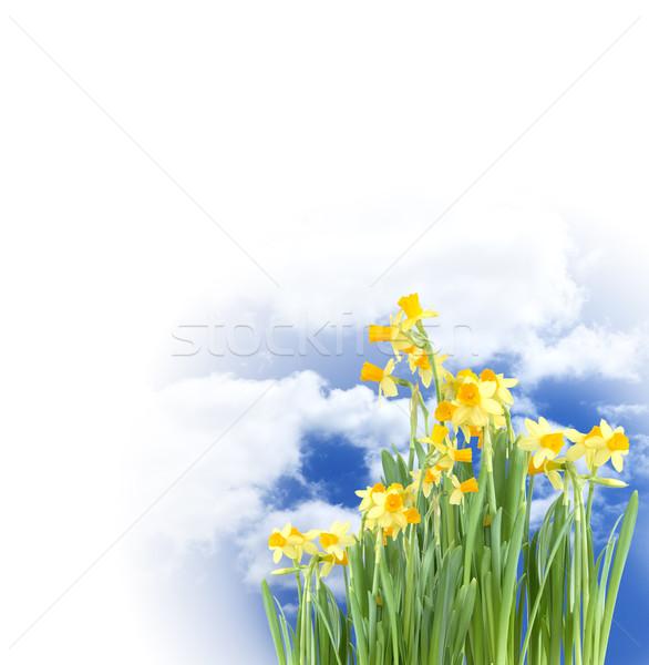 Blooming Daffodils Stock photo © cosma