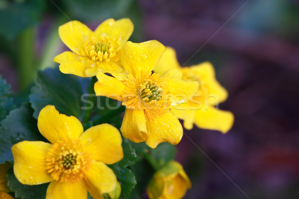Yellow Wildflower Stock photo © cosma