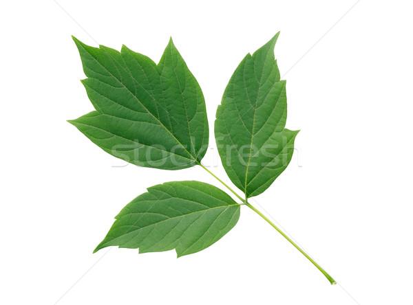 緑の葉 孤立した 美しい 支店 白 ストックフォト © cosma