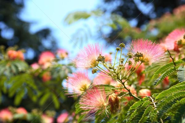 Silk Tree Stock photo © cosma