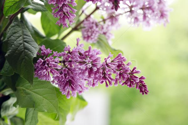 ライラック 紫色 小枝 クローズアップ 緑の葉 春 ストックフォト © cosma