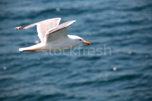 Gull Above Sea Stock photo © cosma