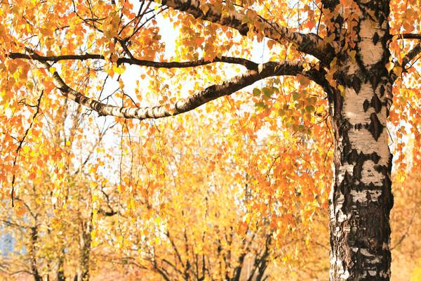Huş ağacı düşmek sonbahar mevsimlik ağaç Stok fotoğraf © cosma