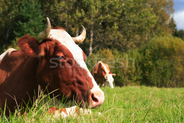 Cow On Pasture Stock photo © cosma