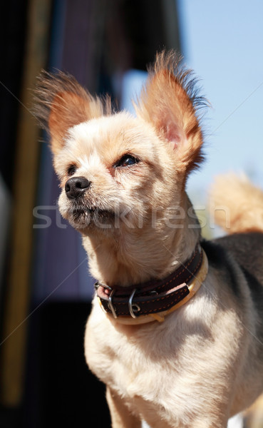 Small Dog In Collar Stock photo © cosma