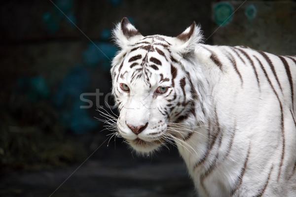 Fehér tigris közelkép gyönyörű sötét Stock fotó © cosma