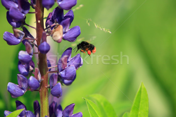 Flying Bumblebee Stock photo © cosma