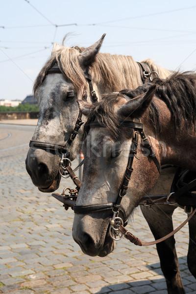 Fuvar lovak közelkép portré pár szürke Stock fotó © cosma