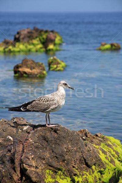 Gull On The Stone Stock photo © cosma