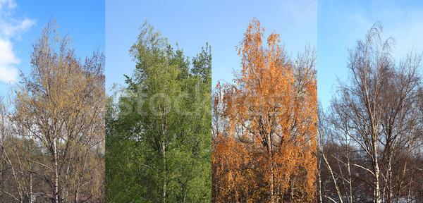 Cztery pory roku jeden brzozowy drzewo rok niebo Zdjęcia stock © cosma