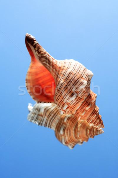 Conch Snell Stock photo © cosma