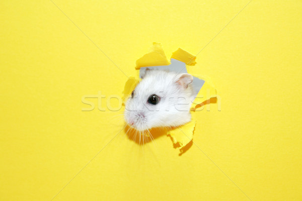 Hamster Appearance Stock photo © cosma
