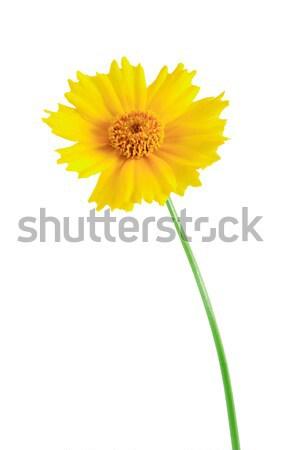 желтый диких цветов белый изолированный цветок Сток-фото © cosma