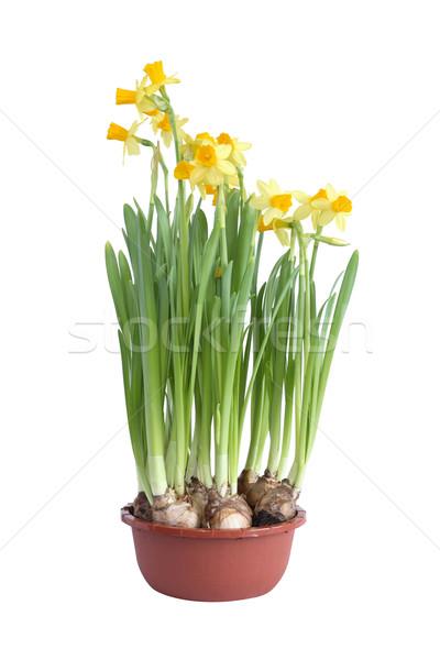 нарциссов банка цветочный горшок Nice желтый белый Сток-фото © cosma