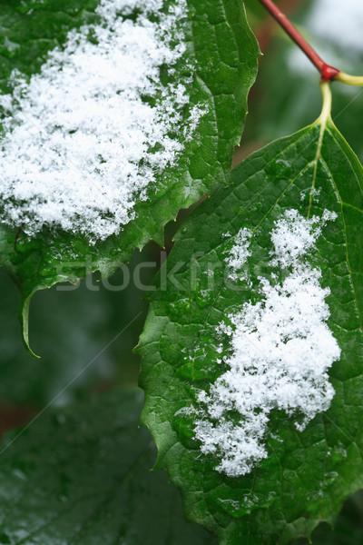 первый снега осень зима зеленые листья лес Сток-фото © cosma