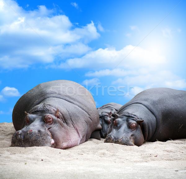 Hippopotamus Family Siesta Stock photo © cosma